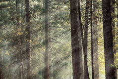 Yosemite pines in sunlight Stock Images