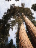 Yosemite Trees Stock Images