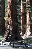 Yosemite trees Royalty Free Stock Photography