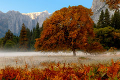 Yosemite Valley. Beautiful Lone fall tree in Yosemite Valley Royalty Free Stock Photo