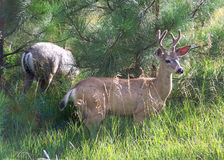 Yosemite Valley Deer Royalty Free Stock Images