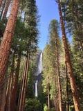 Yosemite Waterfalls behind Sequoias Royalty Free Stock Image