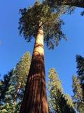 Yosemitecalifornische sequoia Stock Afbeeldingen