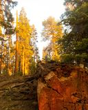 Yosemitepijnbomen stock foto