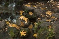Yosemitevallei Gevallen Bladeren dichtbij de Lente stock foto's