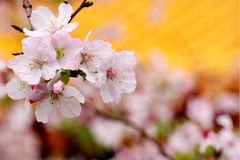 Yoshino cherry Stock Photography