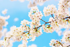 Yoshino cherry blossoms. Against blue sky stock image
