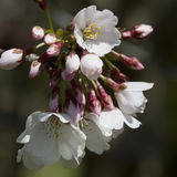 Yoshino Cherry Blossoms and Buds Stock Photos