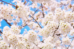 Yoshino cherry blossoms in full bloom. Against blue sky stock images