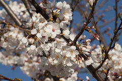 Yoshino Cherry Blossoms - Prunus × yedoensis. Are spring flowering trees that were introduced to Alabama from Japan royalty free stock photography