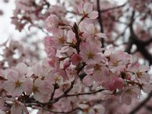 Yoshino cherry blossoms at  Ueno Park Toshogu shrine stock photos