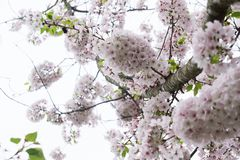 Yoshino Cherry Tree in bloei royalty-vrije stock fotografie