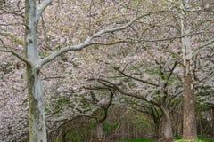 Yoshino Cherry Tree in bloei royalty-vrije stock foto's