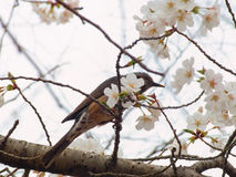 Yoshino cherry tree blossoms and Brown-eared Bulbul, Microscelis amaurotis Royalty Free Stock Photo