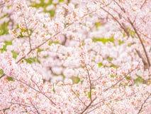 Yoshino cherry tree branch in full bloom Royalty Free Stock Image