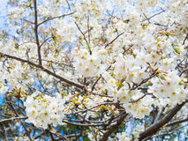 Yoshino cherry tree branch in full bloom Stock Photo