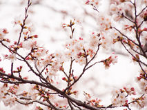 Yoshino cherry tree branch in full bloom in the sky background Stock Photography
