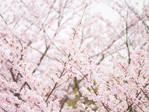 Yoshino cherry tree branch in full bloom in the sky background Stock Image