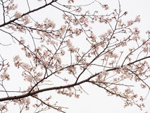 Yoshino cherry tree branch in full bloom in the sky background Stock Photos