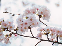 Yoshino cherry tree branch in full bloom in the sky background Royalty Free Stock Photography