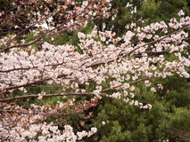 Yoshino cherry tree branches in full bloom Royalty Free Stock Images