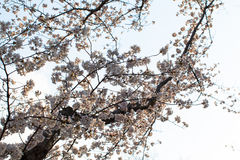 Yoshino cherry tree branches in full bloom in the sky background Stock Photos