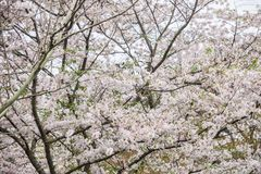 Yoshino Cherry Tree en fleur photos libres de droits