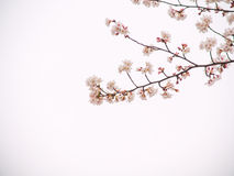 Yoshino cherry tree in full bloom in the sky back Royalty Free Stock Photos
