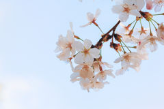 Yoshino cherry tree in full bloom in the sky back Royalty Free Stock Images