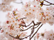 Yoshino cherry tree in full bloom in the sky back Stock Photos