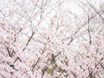 Yoshino cherry tree in full bloom in the sky background Stock Photo