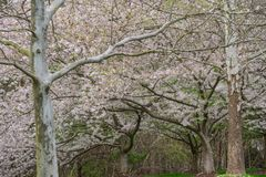 Yoshino Cherry Tree i blom royaltyfria foton
