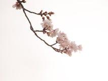 Yoshino gör vit körsbärsröda blomningar och i himmelbakgrunden Royaltyfria Bilder