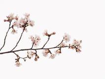 Yoshino körsbärsröda blomningar i himmelbakgrunden Fotografering för Bildbyråer