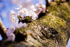 Yoshino-Kirschblüten auf einem Baumstamm Stockbilder