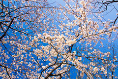 Yoshino-Kirschblüten gegen klaren blauen Himmel Lizenzfreie Stockfotografie