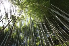 Bamboo forest in Japan Royalty Free Stock Photos