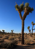Yoshua-Baum im schönen blauen Himmel Lizenzfreie Stockfotos