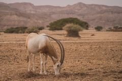 Antilope in the dessert of Israel stock photography