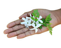 For you. Thanks giving - lovely jasmine flowers on hand Stock Photos