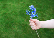 For you. Child's hand holding a bright blue flower Stock Image