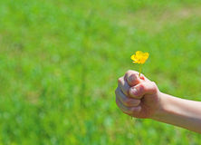 'For you....'. Little hand holding yellow spring flower royalty free stock images