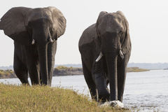 You better move. Tow big bull elephants walking along Choebe River in South Africa Royalty Free Stock Image