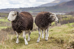 You can go your own way. Two sheep walking in opposite directions on a lake district fell range. Looks like they are having bad friendship day stock photography
