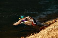 Wild mallard is flying above a river at a sunny spring day. You can see you can see a flying male mallard near a river or a lake Royalty Free Stock Images