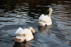 You can& x27;t catch me!. Swan chasing another across the water Royalty Free Stock Photo