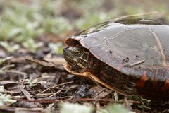 You Can't Get Me. Painted Turtle Hiding In Shell (Closeup Stock Photos