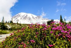 Mount rainier in Seattle Washington state. You can& x27;t really see it when it foggy the wild flowers are blooming back that time. Amazingly beautiful stock images
