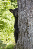 You can't see me. Black bear cub pretending to be invisible hiding behind tree Royalty Free Stock Photography