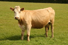 You can trust this cow. Irish cows, still poplar business in ireland, they are sort of decoration of the irish panoramas, in reality they are beef cattle Royalty Free Stock Photography
